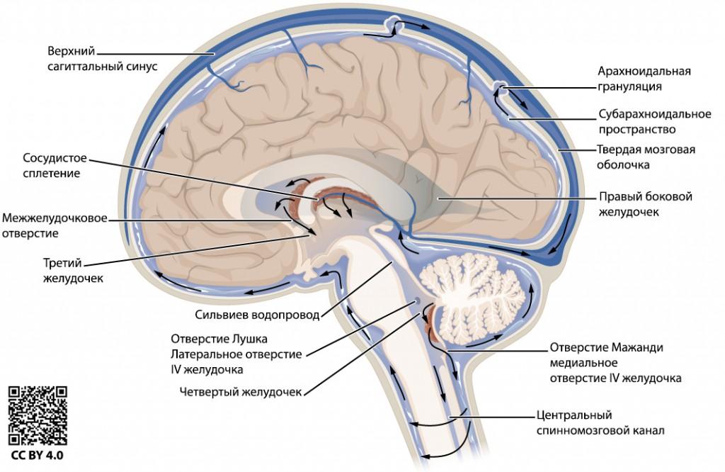 Циркуляция спинномозговой жидкости (иллюстрация)