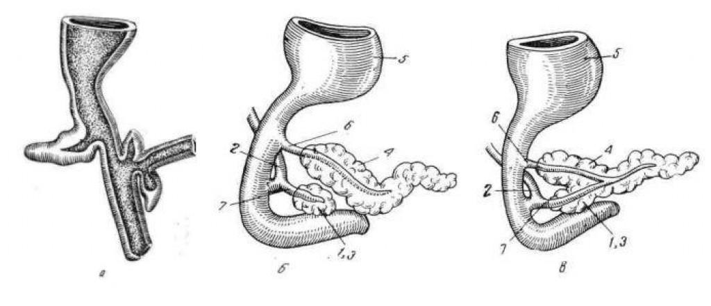 Поджелудочная железа (иллюстрации)