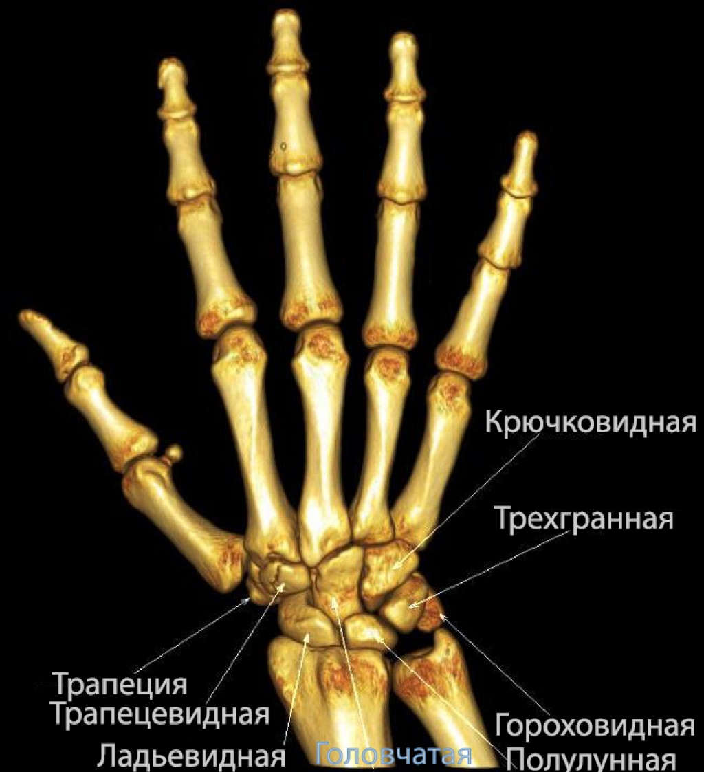 Запястье (анатомия)