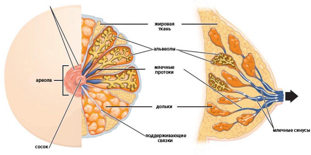 Молочная железа - анатомия (иллюстрации)