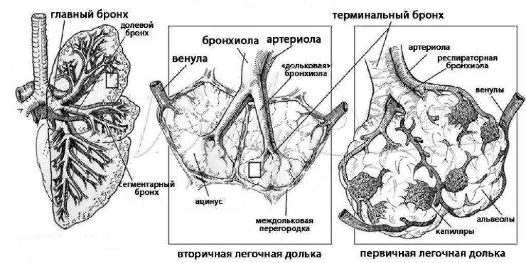 Вторичная легочная долька, ацинус (иллюстрация)