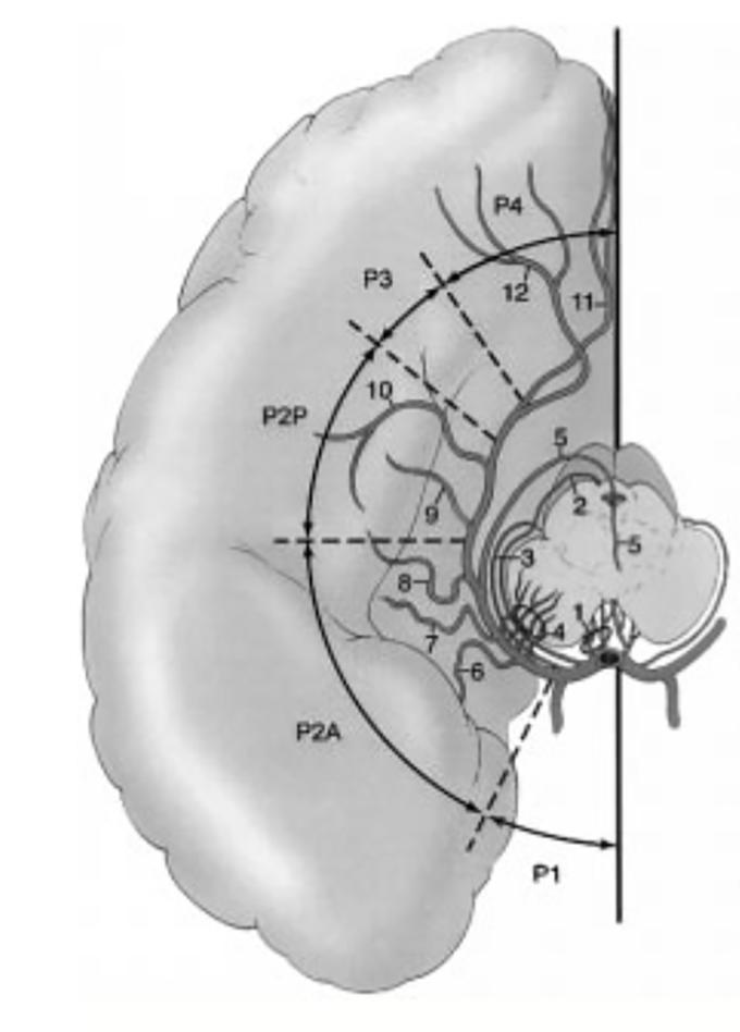 Задняя мозговая артерия